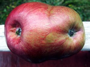 By Dave Bonta from Tyrone, Pennsylvania, U.S.A. (conjoined apple 3) [CC BY-SA 2.0 (http://creativecommons.org/licenses/by-sa/2.0)], via Wikimedia Commons